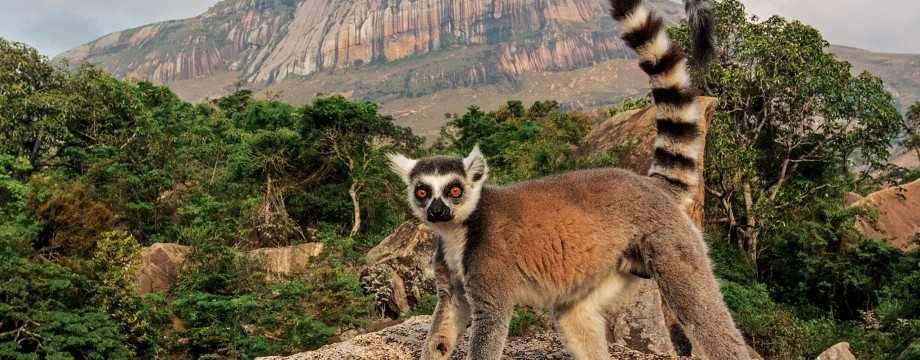 x011_ring-tailed-lemur-madagascar.jpg.pagespeed.ic.ncK_AjV-Tk